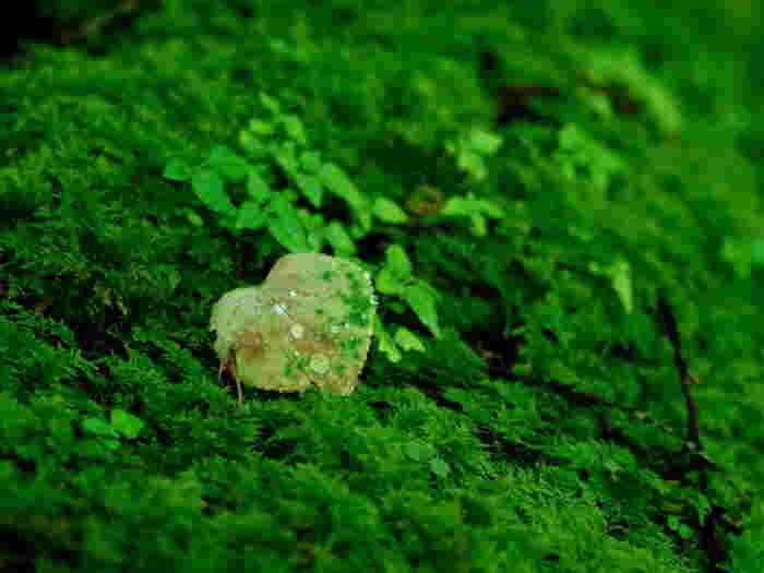 屋久島の森に生息している苔の種類は600種類。これは日本にある苔の、およそ1/3もの種類の苔が生息していることになるんだとか。
