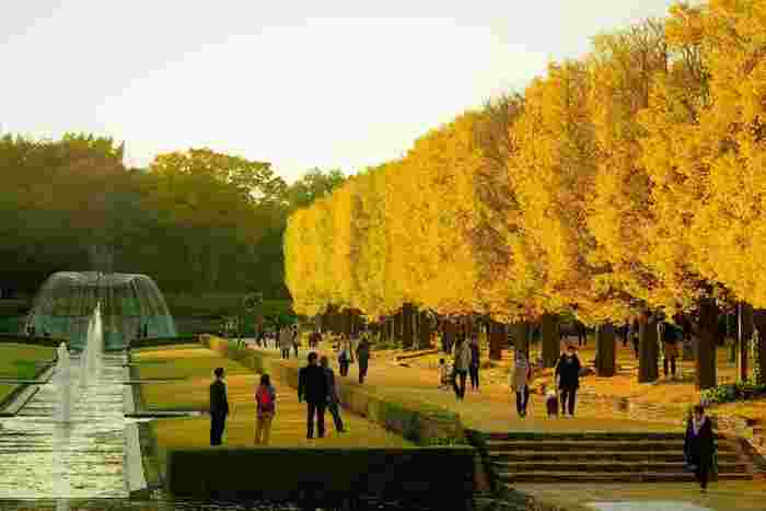 西立川駅から徒歩2分の、日本を代表する国営公園です。空を覆いつくすかのように色づいた、迫力あるイチョウ並木を楽しむことができます。なんと東京ドームの約40倍もある広大な園内で、お弁当を広げながら紅葉をながめたり、アスレチックを楽しんだりできますよ。
