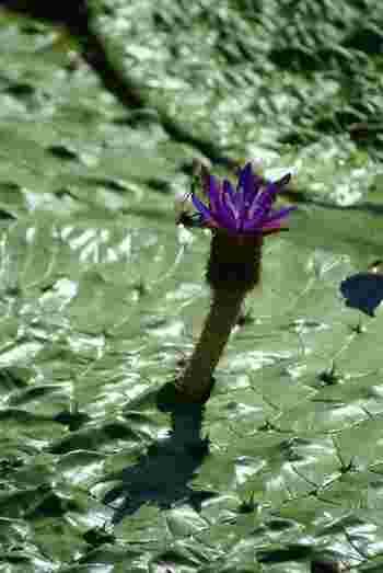水元公園では蓮と同じ時期に「鬼蓮(オニバス)」も綺麗な花を咲かせます。原始的な睡蓮植物の一種であるオニバスは、世界的にも限られた場所でしか見れない珍しい植物。こちらも見逃せません!