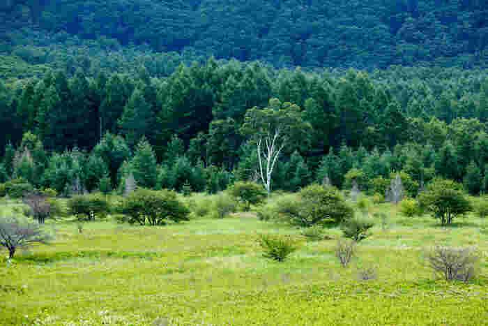 """""""小田代ヶ原の貴婦人""""と呼ばれる白樺の木。草原の真ん中に1本だけ生えていて、思わずシャッターを押したくなるほどの美しさ。散策の目安は2時間程度。ぜひ奥日光の自然を満喫してみませんか?"""