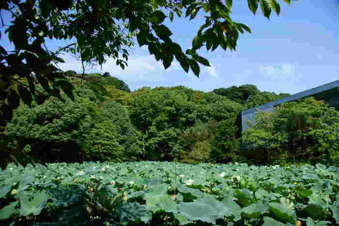 鎌倉市にある鶴岡八幡宮は修学旅行の名所としてもお馴染みですが、夏は綺麗な蓮が見られるスポットとしても大人気。開花時期は例年7月中旬~8月下旬頃のようです。