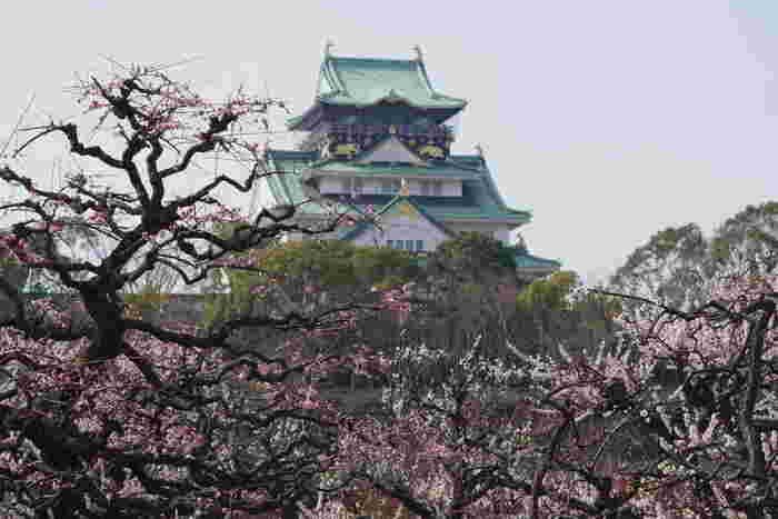大阪のシンボル、大阪城公園内の二の丸東部分の梅林では、約1270本の梅が花を咲かせます。大阪城天守閣、満開に咲き誇る紅梅と白梅が浮世絵のような景色を作りだしています。