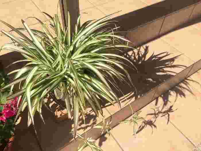 初心者さんにおすすめです♪観葉植物【オリヅルラン】の育て方・増やし方