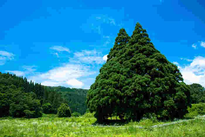 山形の米沢にあるトトロの木。 この木を見つけた瞬間に「お!」って声が出てしまいそう。周りの田園風景にも癒されるはずです。