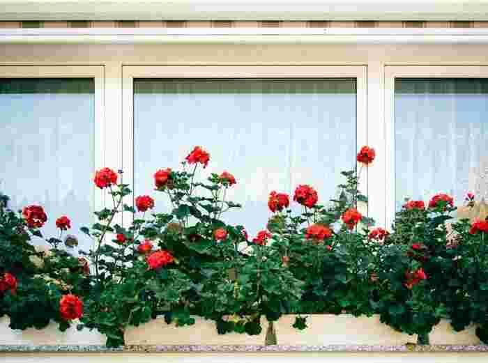 ヨーロッパでは、バルコニーや窓辺にプランターでお花を植えるのが一般的。ゼラニウムなどの丈夫で色がはっきりとしたお花を選べば、長い期間楽しめます。