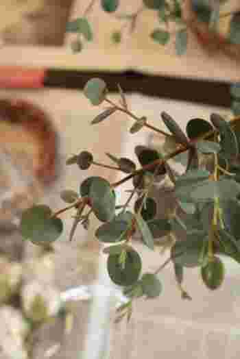 コアラの餌という印象の強いユーカリ。清涼感のあるすっきりとした香りが特徴的ですよね。また、切り花としてもおしゃれで、インテリアに花を添えることのできる万能な植物なんです。ユーカリと一言でいってもなんと種類は500種以上もあり、葉や花の形や色が違います。
