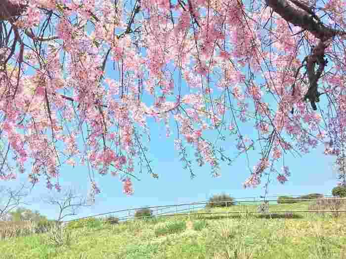 春先のほんのひととき楽しませてくれる「桜」。満開を楽しめるのはほんの数日ですが、散っている姿もまた美しい特別な花ですよね。家の近くの見慣れた公園も、桜が咲くだけで特別な場所に。