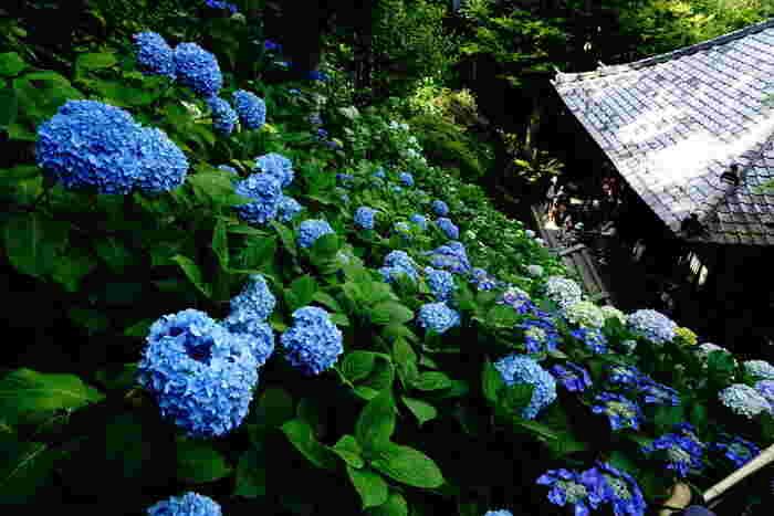 長谷寺の紫陽花は毎年6月中旬ごろから見頃になります。長谷寺の紫陽花は約2500株。高台に位置する長谷寺では、傾斜面が一面紫陽花で埋められます。その様は圧巻です!