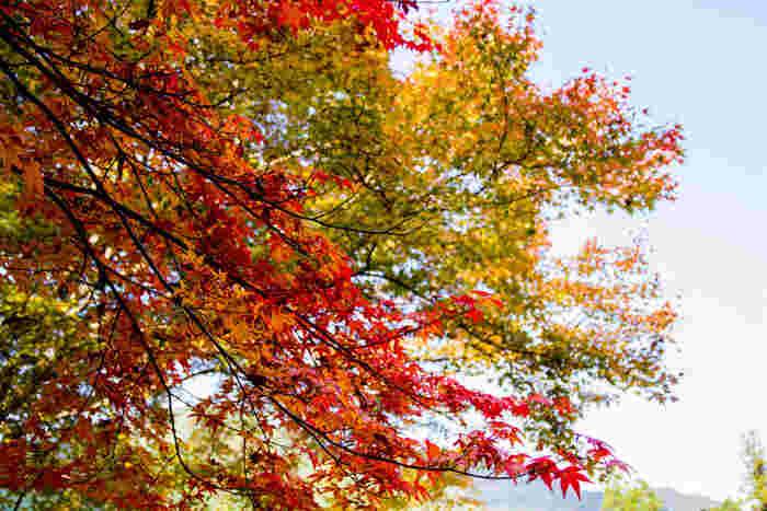 広大な敷地を誇る境内には、落葉樹であるカエデの木が鮮やかに色付きます。抜けるような青空と、色とりどりに紅葉した樹々のコントラストの美しさは格別です。