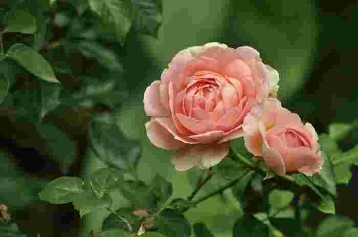 6月の花:薔薇