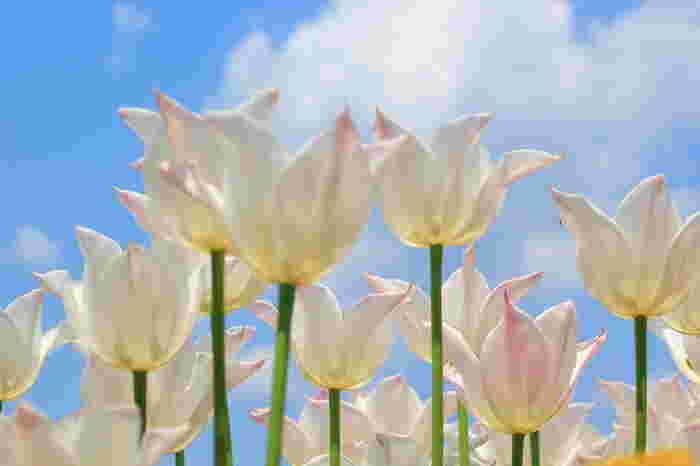 毎年4月上旬ごろになると植物園内で栽培されているチューリップが見ごろを迎えます。チューリップの花を地面から見上げてみましょう。春の青空と、やさしい色をしたチューリップの花びらとのコントラストの美しさは格別です。