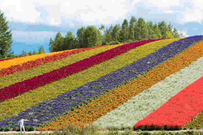 東京ドーム3個分もの大きさを誇るお花畑に、色とりどりの花が咲き誇る様子は、まるで大地に虹色の絨毯を敷き詰めたかのようです。