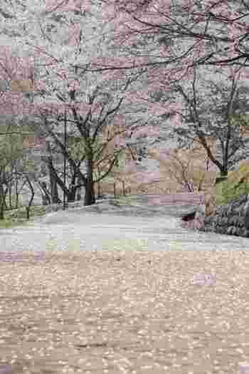 また湖畔には大野ダム公園があり、広々としたスペースでゆっくりお花見できたり、桜を眺めながら散策できる遊歩道があったりと、思う存分に桜を満喫できちゃうのがおすすめのポイントです。