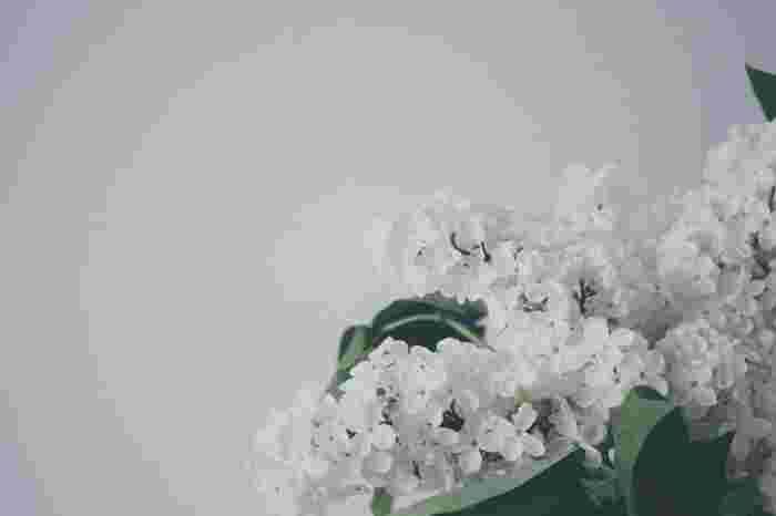 Photo on [VisualHunt](https://visualhunt.com/re4/fa356497)  葉も花もかわいらしいライラックは、栄養剤が必ず必要です。元気な花を咲かせて長く楽しみましょう。
