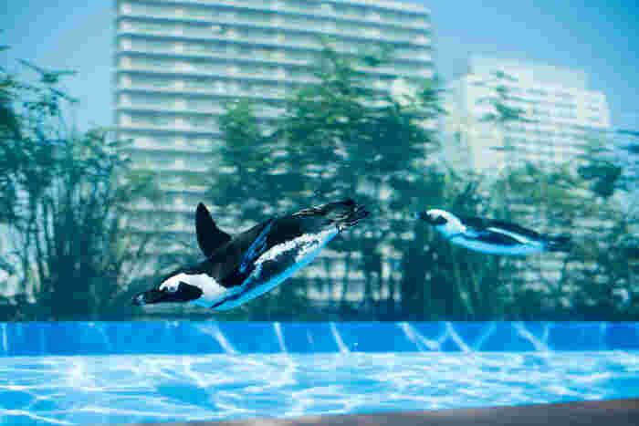 「サンシャイン水族館」は複合商業施設「サンシャインシティ」内にある水族館です。建物の屋上という珍しい立地を活かし、高層ビルを背景に空を飛ぶように泳ぐペンギンなど、ユニークな展示施設が話題となっています。
