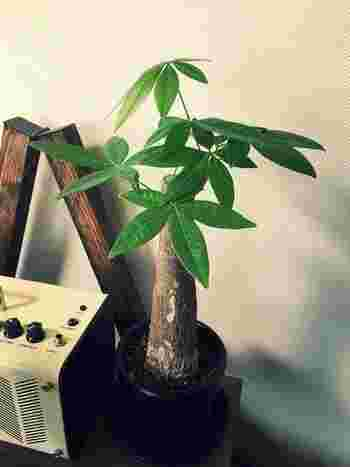 【ポイント】 春~秋にかけて月1回程度液肥(液体の肥料)をあげるようにしましょう!肥料が少ないと葉色が悪くなるので注意が必要です。