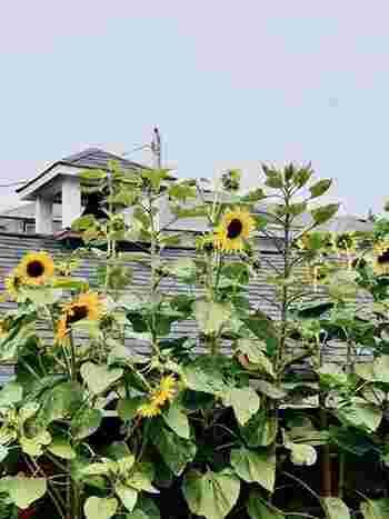 夏の花といえば、ひまわり。ぐんぐんと背を伸ばし太陽に向かって力強く咲く様は、夏の風景をより印象深くさせます。育て方も比較的簡単な花ですから、今年の夏は庭やプランターでひまわりを育ててみませんか?