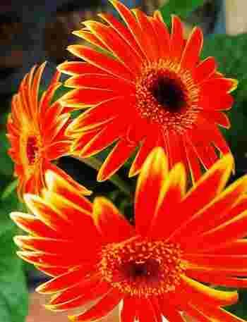 ビロードのような花びらを持つ、キク科ガーベラ属の多年草。おなじみの赤やピンクをはじめ、黄色、オレンジ、青、紫、白と豊富な色があります。