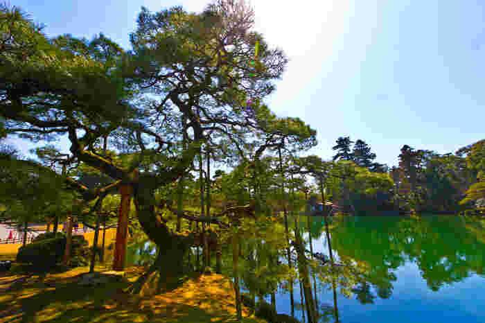 霞ヶ池の東側に植樹されている唐崎松は、加賀藩13代藩主である斉泰が滋賀県の琵琶湖畔に植樹されていた唐崎松の種を取り寄せて大切に育てられてきたクロマツです。
