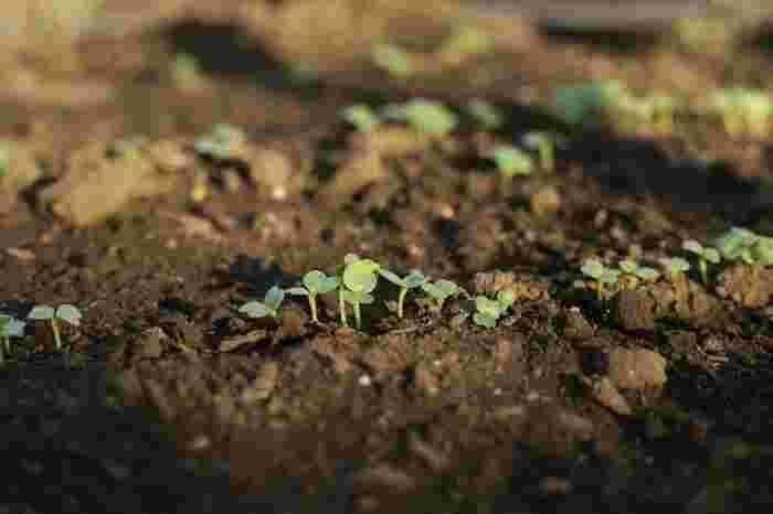 ・芽が出るまでは、土が乾くたびにこまめに水をあげて下さい。種や芽がとても小さいので、水で流れてしまわないよう、優しく水やりしてあげましょう♪ ・根づいたら、土の表面が乾いた時に、タップリと水をあげます。