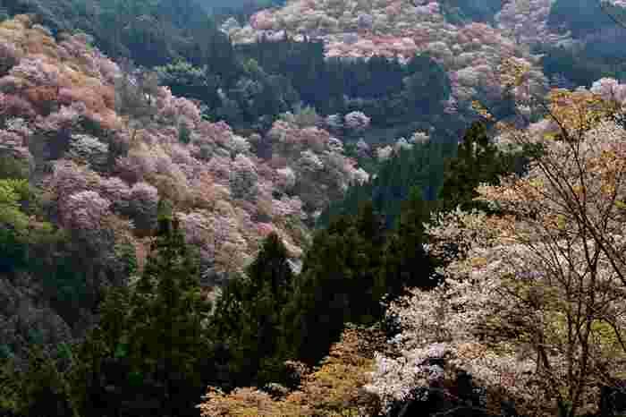 吉水神社境内からは、一目千本の桜を見渡すことができます。