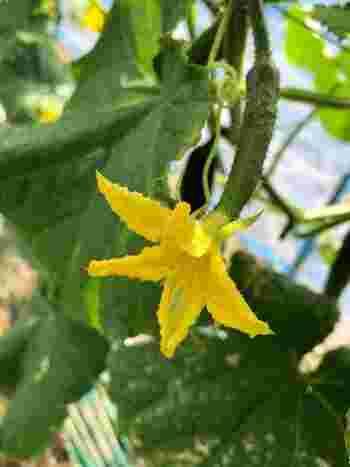 きゅうりには雄花と雌花が咲きますが、受粉がうまくいかなくても実がなる『単為結果(たんいけっか)』という性質を持っています。そのため、人の手で受粉させる手間がかかりません。2〜3日で花が萎んだ頃、雌花の根元をのぞいてみると、小さくてかわいいきゅうりの実がもう膨らみ始めています。