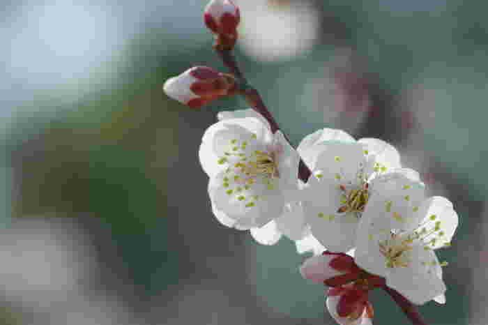 可憐に咲く白梅の花は、春の訪れを私たちに告げているかのようです。