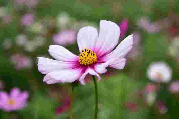 日本の秋といえば、コスモスやリンドウ、彼岸花などが思い浮かびます。秋風にゆれる姿は、ほんとうに美しいですね。お花屋さんでも手に入りますが、お家で鉢やプランターで育てることもできますので、来年は挑戦してみてはいかが?