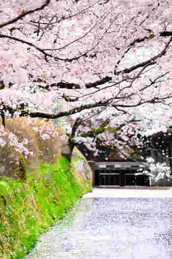 哲学の道の桜が他よりちょっと特別なのは、散ったあともまた「見ごろ」ということ。ひらひらと舞う花びらにも情緒を感じ、足元は桜の花びらでピンク色の絨毯が。