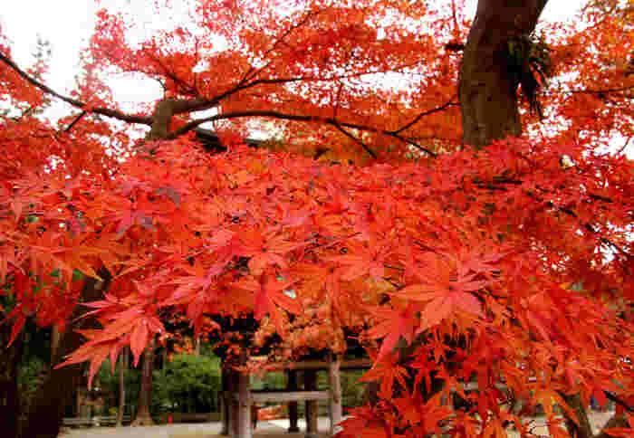 円覚寺では、毎週土曜日に座禅会が開催されています。初心の部も用意されていますので初めてでも安心。紅葉に訪れるのと合わせて座禅で日頃の煩悩を取り払ってみるというのも、いいかもしれませんね。