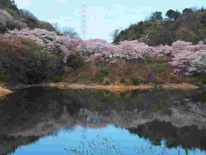 「大阪みどりの百選」「水源の森百選」に選定されている永楽ダムの湖畔には、ソメイヨシノ、山桜などを中心として約1000本の桜が植樹されています。