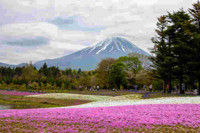 4月~5月には毎年「富士芝桜まつり」が開催され、約80万株が富士山麓に咲き誇ります。本栖湖畔ではないのでカーナビを設定する時には「富士本栖湖リゾート」または「本栖ハイランド」と入力してくださいね。