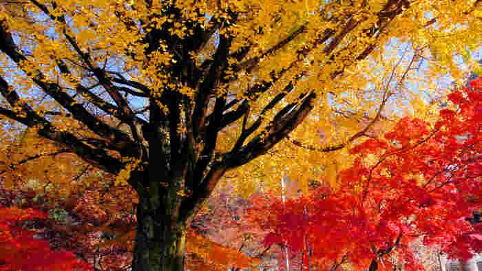 ゆったりとした時間が流れる寂光院で、ゆっくりと境内を散策しながら、鮮やかに彩った樹々を眺め、贅沢なひと時を過ごしてみてはいかがでしょうか。