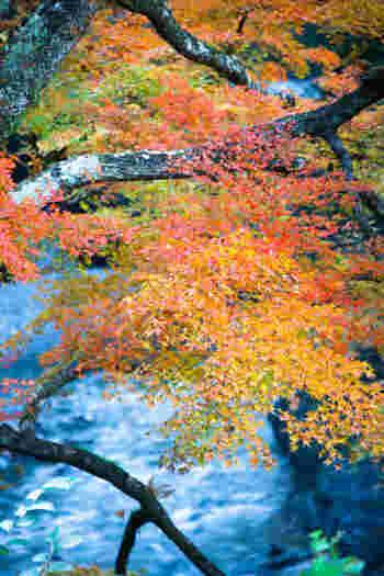 10月下旬から11月中旬の見頃の頃には奥秩父大滝紅葉まつりも行われる絶景スポット。付近に温泉もあるので、冷えた体を温めて帰るのもいいですね。