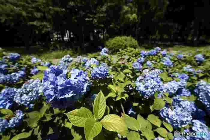 初夏になると大阪城公園内にある「あじさい・うつぎ園」では、アジサイの花が見頃を迎えます。