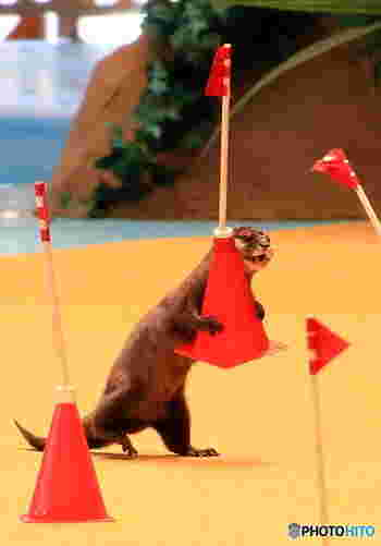 動物ショーでは、海の動物だけでなく、カワウソなど、水辺に棲む動物たちも登場します。