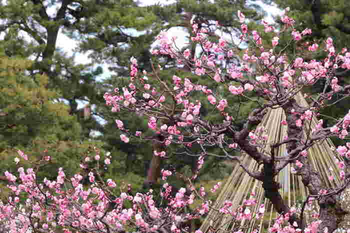 兼六園は、金沢市でも指折りの梅の名所として知られています。園内には約20種類、200本の梅が植樹されており、初春になると見頃を迎えます。
