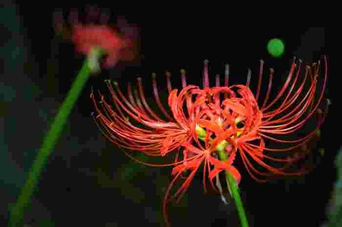 曼殊沙華や狐花などたくさんの別名を持つ彼岸花。この花はまず花を咲かせてから、葉を伸ばすという特徴があり、ゆらゆらと長く伸びた茎から花が揺れる様子はとても幻想的ですよね。花言葉は「情熱」「再会」「また会う日を楽しみに」などで、赤い花の印象から生まれたものが多いといわれています。ポジティブなイメージの花言葉を持つ彼岸花ですが、日本ではお彼岸の頃に咲くことや不吉な印象を持つ人が多いので、ギフトとして贈るときは注意が必要です。