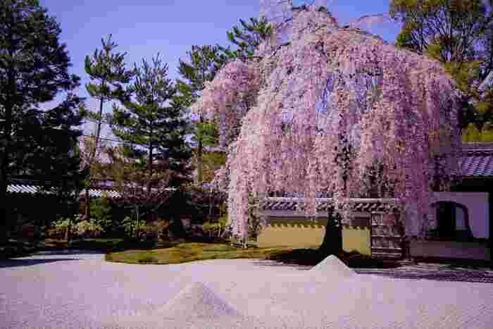 高台寺は、豊臣秀吉の正室、ねねが夫である秀吉の死後、その菩提を弔うために建立した寺院です。ここは江戸時代から花の名所として親しまれており、四季折々で風光明媚な景色を見せてくれます。広い境内の中でも方丈庭園の枝垂れ桜の美しさは傑出しております。