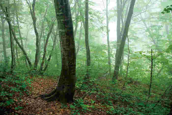 霧がかったブナ林はなんとも幻想的。 もののけ姫の舞台のモデルにもなりました。   出典:農林水産省ホームページ(http://www.maff.go.jp/j/pr/aff/1110/spe1_02.html)