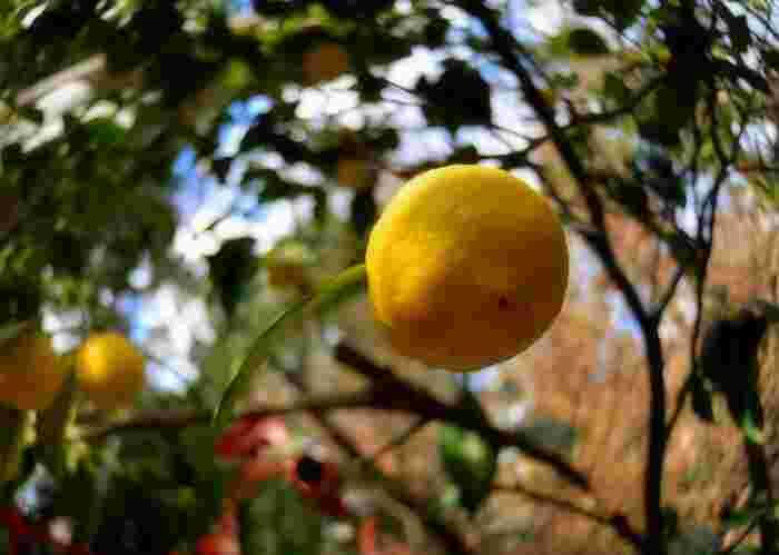 冬の果実である「柚子(黄色)」はさわやかな香りが特徴的。江戸時代頃から、冬至の日には柚子を浮かべて入浴する習慣があったのだとか。