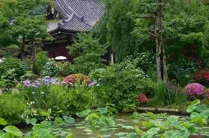 12世紀に創建された法金剛院は、いにしえより名勝の地として知られている双ヶ丘麓にある寺院です。国の特別名勝に指定されている青女の瀧がある庭園内に、アジサイなどが花を咲かせ、境内の美しさを引き立てています。