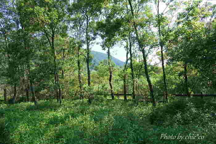 箱根仙石原のススキ草原からほど近いところにある「箱根湿生花園」では、湿地や川、湖沼などの水湿地に生育している植物を見ることができます。秋の草花も多く、お盆を過ぎた頃から【桔梗】に出合えますよ。