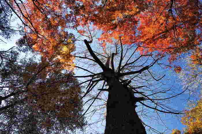 葉を落とした銀杏の木、楓紅葉、青い空。
