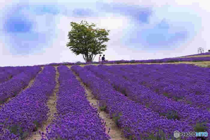 広大な丘陵地帯には、一面のラベンダー畑が大地を紫色に染めており、その美しさは思わず息をすることさえも忘れてしまうほどです。