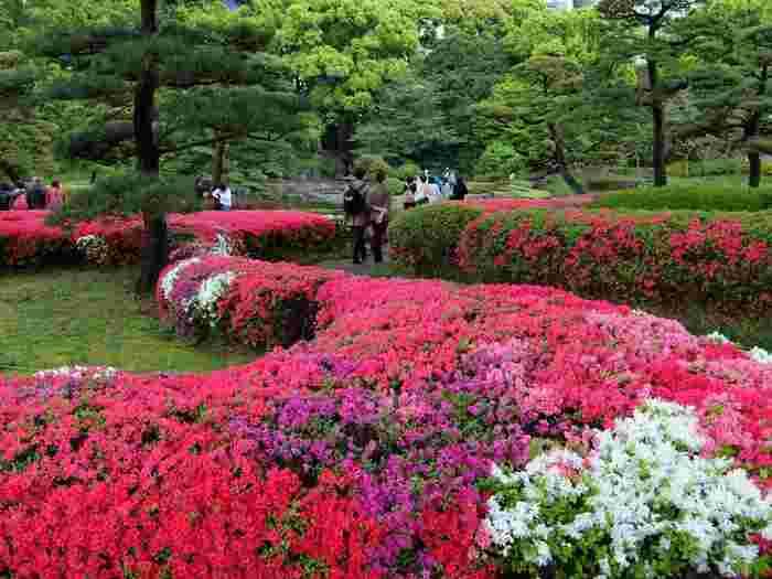 そして、第四の魅力は、季節それぞれに趣の異なる景色や風情を楽しめることです。  特筆すべきは、種類豊富な花々です。 年間を通して、多種多彩の花が季節を咲き継いでいくため、いつ訪れても花々を鑑賞出来、花のある景色を楽しめます。 【『クルメツツジ』が咲き乱れる4月中旬の「二之丸庭園」。苑内ツツジの見頃は、例年4月上旬~5月初旬。】