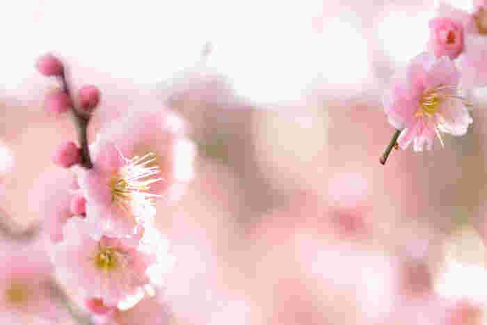 淡い桃色をした梅の花は可憐で、春の訪れを告げる妖精のようです。