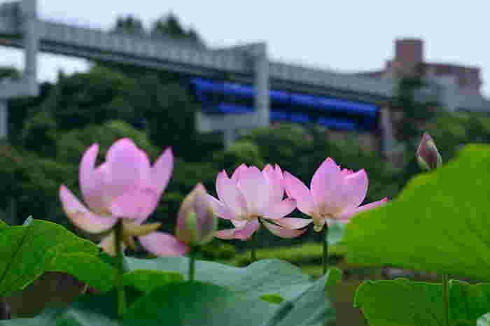 最寄の千葉公園駅からモノレールに乗ったら、ぜひ窓から公園の景色を眺めてみましょう!園内で観る蓮の風景とはまた違った美しい光景が広がります。