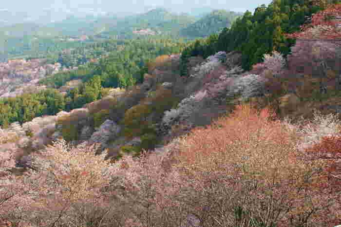 美しい山容、競い合って咲き誇る千本桜、仙人の住家を彷彿とさせる霞が織りなし、花矢倉展望台から眺める景色は絶景そのものです。