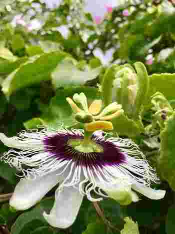 きらびやかな見た目のお花はトケイソウとうりふたつ。実は、本当にトケイソウ科の植物で、和名はクダモノトケイソウと言います。花だけでも楽しめますね。
